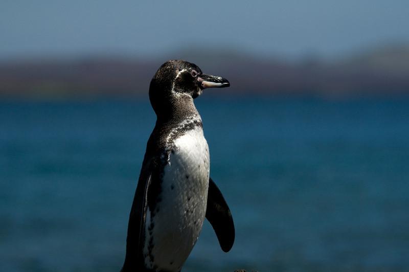 Galapagos Penquin-2