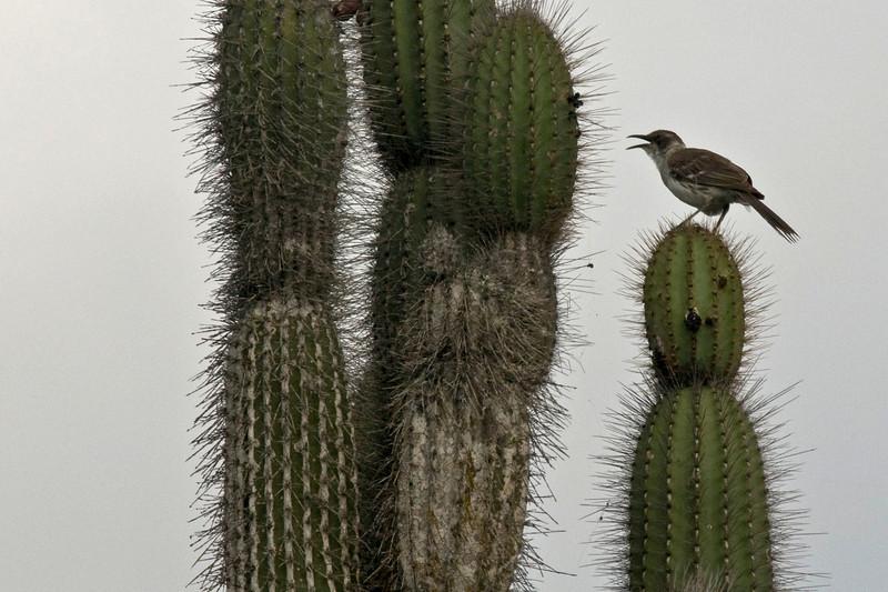 Mocking Bird-2