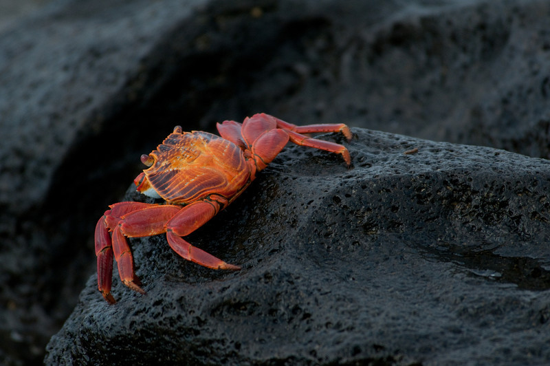 Sally Lightfoot Crab-2