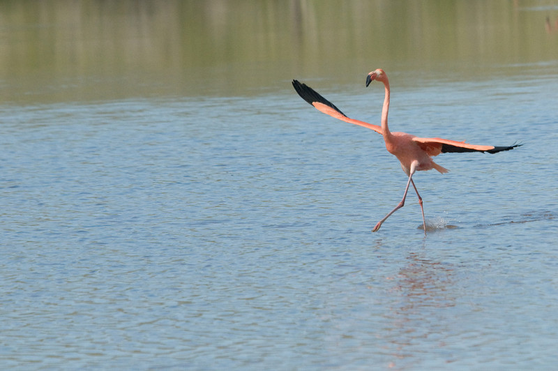 Greater Flamingo-2