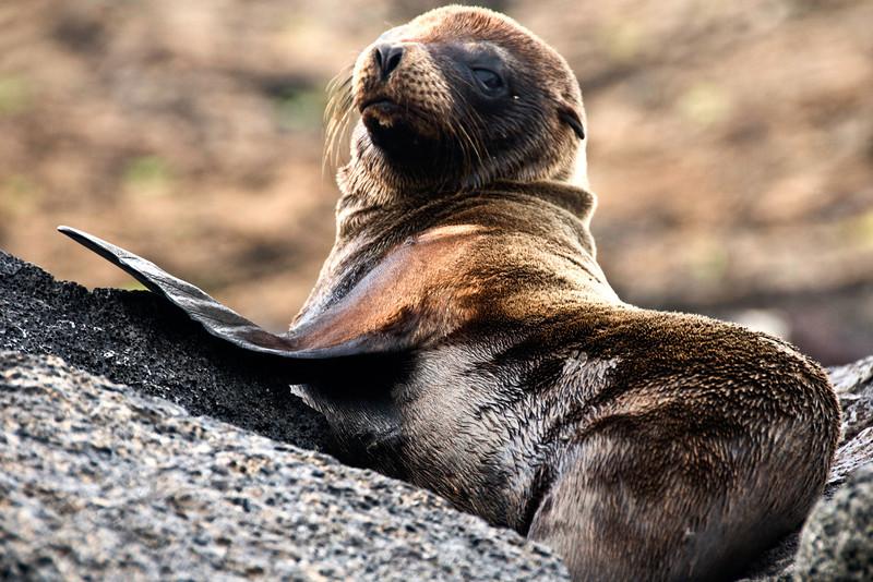 Galapagos Sea Lions-9