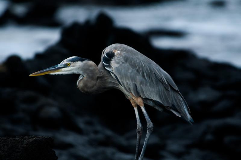 Great Blue Heron-3