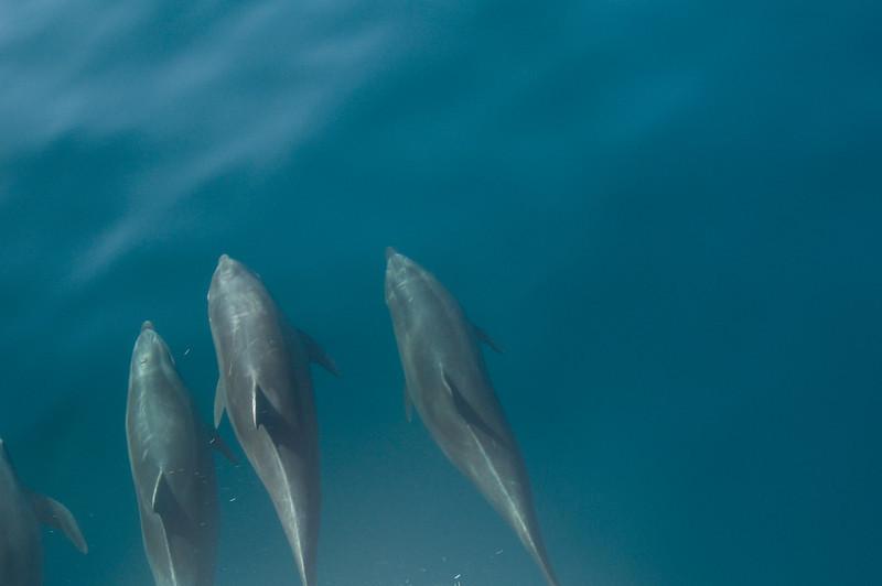 Floreana Island_Bottle-nosed Dolphins