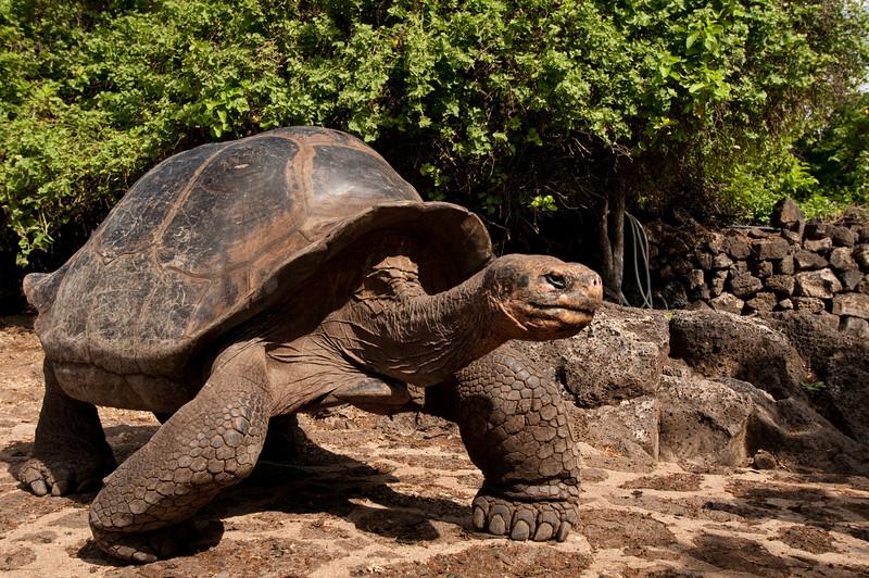 Galapagos Tortoise-3