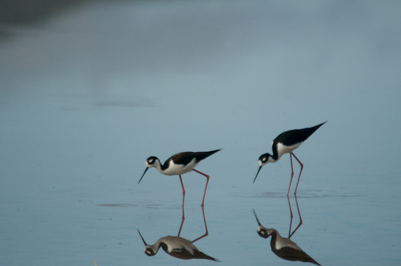 Floreana Island_Black-necked Stilt