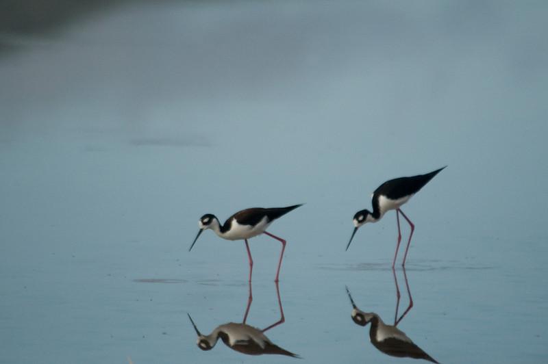 Floreana Island_Black-necked Stilt