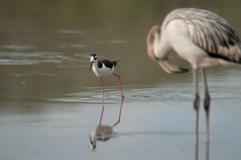 Floreana Island_Black-necked Stilt (2)
