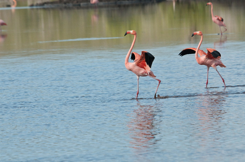 Greater Flamingo-3