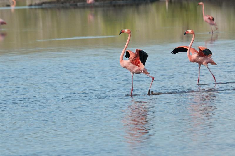 Greater Flamingo-3
