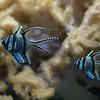 Banggal cardinalfish