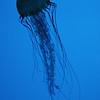 Jellyfish at the aquarium