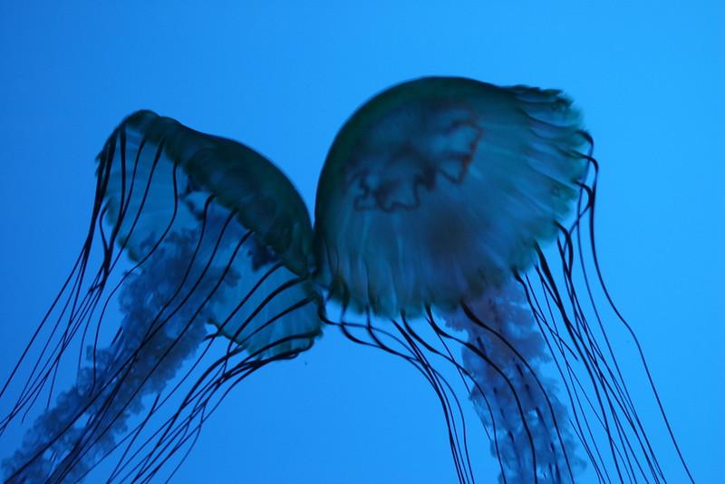 Kissing jellyfish