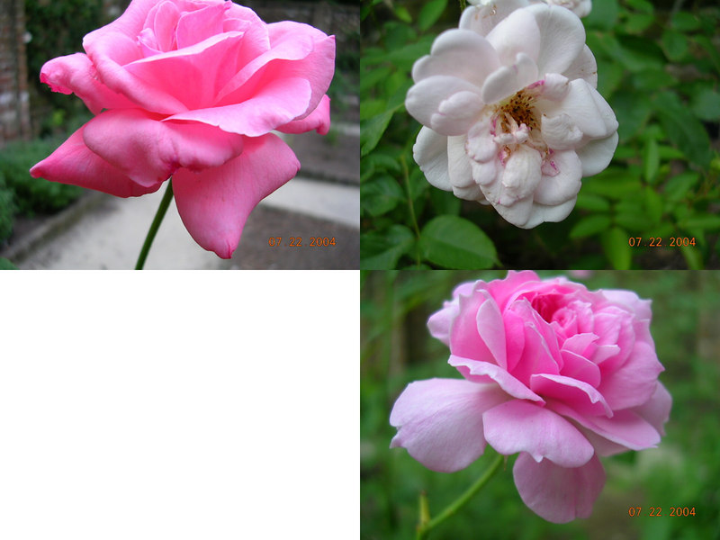 <h2>Rose Garden</h2>These were located in the Queen's Personal Rose Garden within the grounds. The top left is the Queen Elizabeth Rose, the top right is the Marie Pavie, and the bottom right is called the Caldwell Pink.