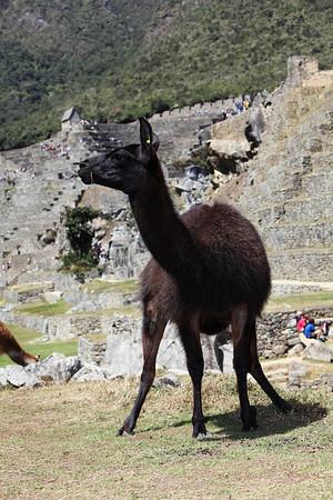 This llama is taking a dump.