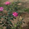 Rose garden, Raj Bhavan, Orissa.
