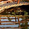Lotus Pond at Raj Bhavan.