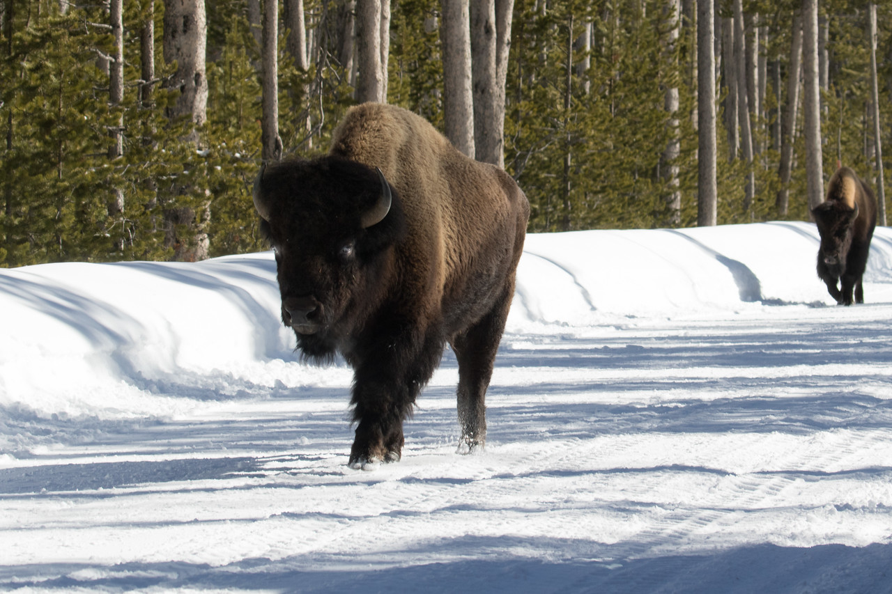 The road is simply much easier for the bison than going cross country in feet of snow.