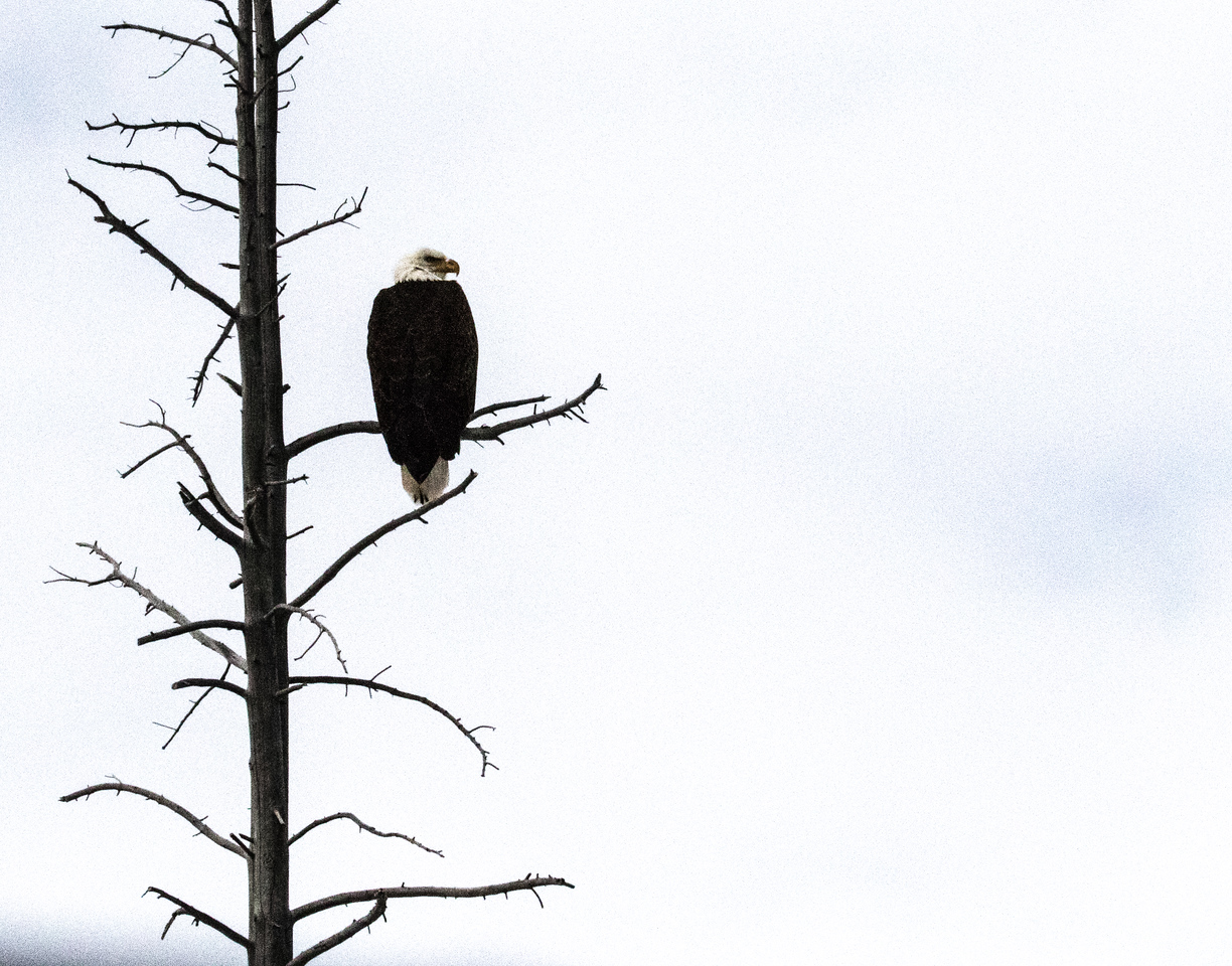 Driving along the Firehole River in our snow coaches, we first spot this bald eagle, worthy of a quick stop.