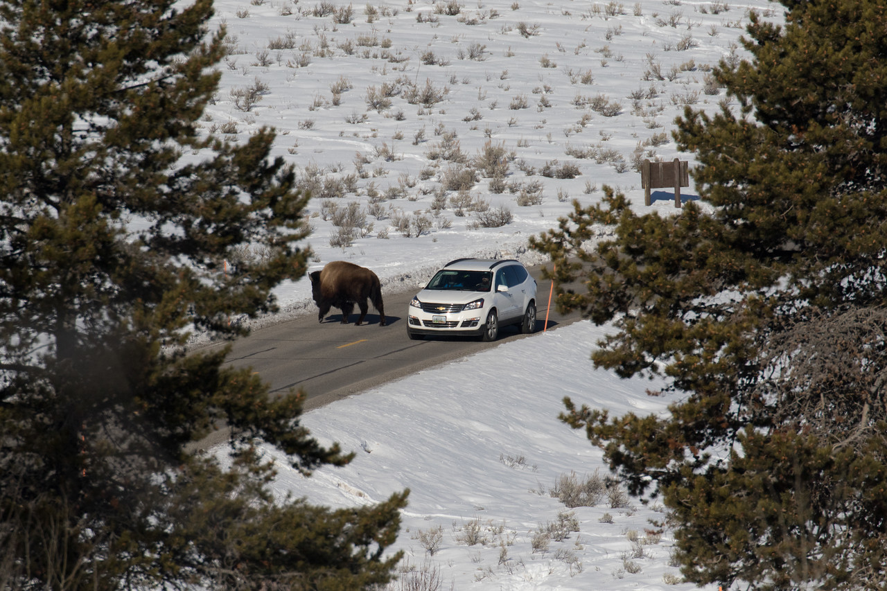 We all watched this slow motion encounter between the car and the bison.