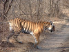 Tiger, Ranthambore Park