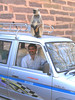 Karan, our driver and monkey at Ranthambore Fort
