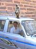 Karan, our driver and monkey at Ranthambore Fort