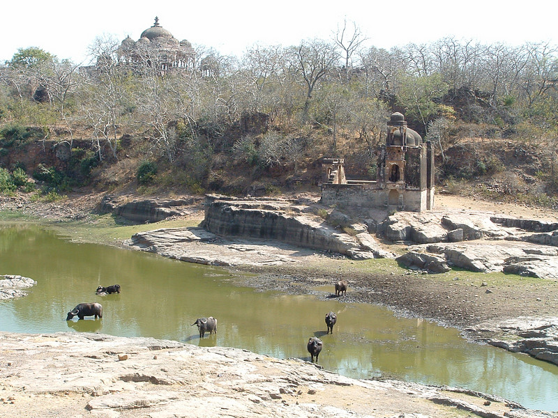 Water buffalo from Ranthambore Fort