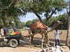 Camel cart, Sawai Madhopur