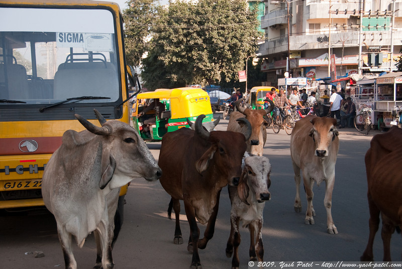 Cows are pretty common walking the streets amongst traffic in India.