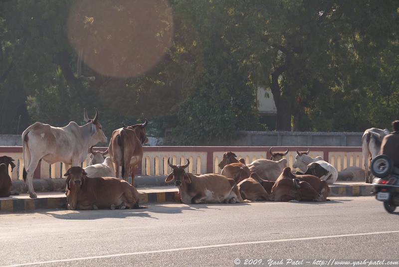 Cows resting on the side of the road in the afternoon sun, alongside traffic of course...