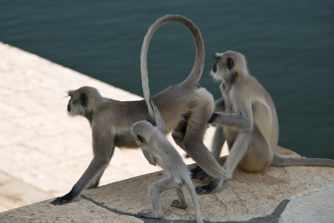 A monkey family at the lake.