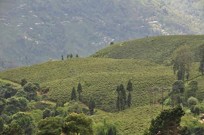acres of tea plants