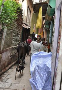 cow blocking lane