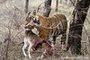 Male Royal Bengal Tiger Carrying an Axis Deer