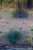Dancing Indian Peafowl