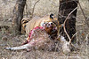 Male Royal Bengal Tiger Eating an Axis Deer