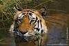 Male Royal Bengal Tiger in Waterhole