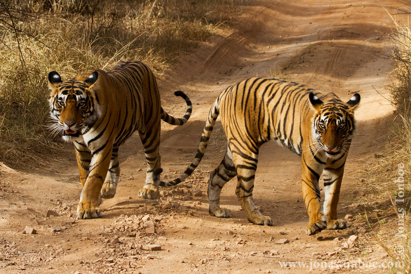 Male and Female Royal Bengal Tigers