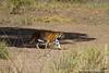 Female Royal Bengal Tiger
