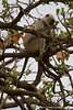 Hanuman Langur Sitting in Tree