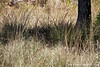 Female Royal Bengal Tiger Hiding in Tall Grass