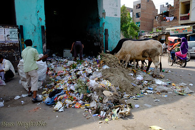 Cows feed on garbage and people hunt for value. New Delhi, India. 2015