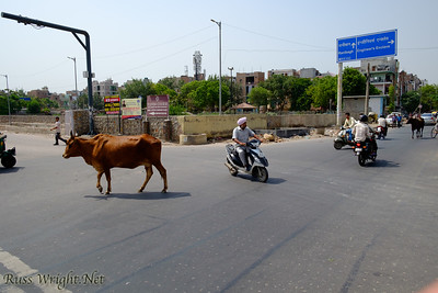 Cows, scooters, people all share the road in New Delhi, India. 2015