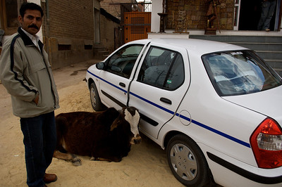 Holy cow blocking access to my car, Bikaner.