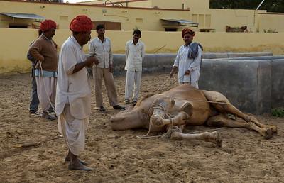 Sedating a camel, camel farm, Bikaner.