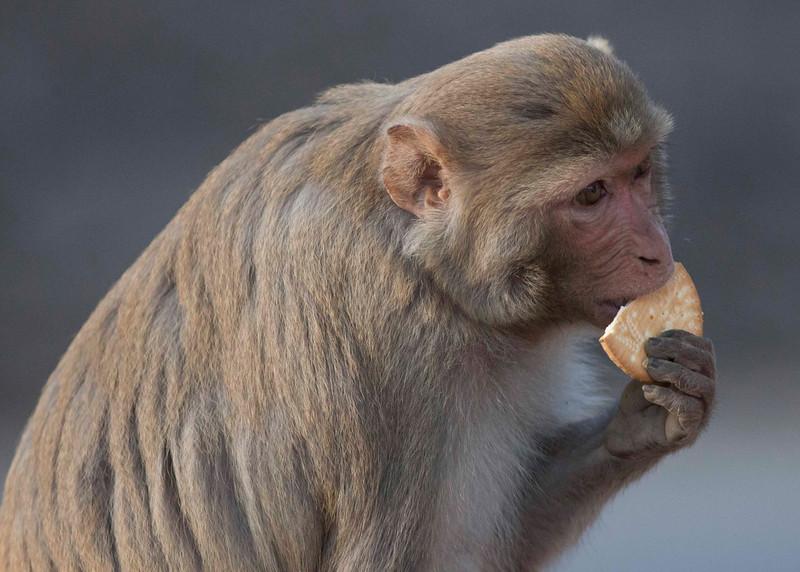 Makak fron National Park in