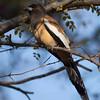 Rufous Treepie