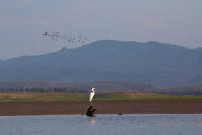 Egret and river birds, Satpura NP