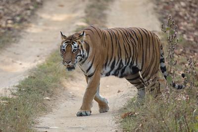 Tigress in Kanha NP