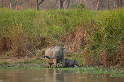 Wild elephants in Kaziranga NP